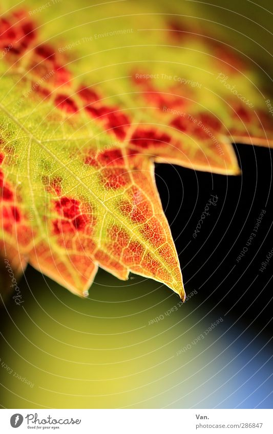 Bye autumn! Nature Plant Autumn Leaf Vine Rachis Point Yellow Red Colour photo Multicoloured Exterior shot Close-up Detail Macro (Extreme close-up) Deserted