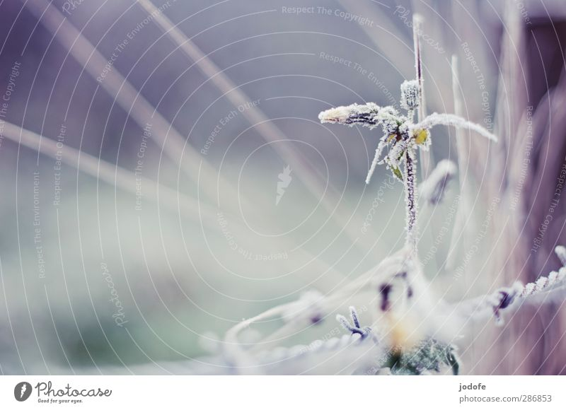 Flower ice candied Environment Nature Plant Ice Frost Cold Dandelion Frozen Crystal Barbed wire Hoar frost Winter Autumn Colour photo Subdued colour