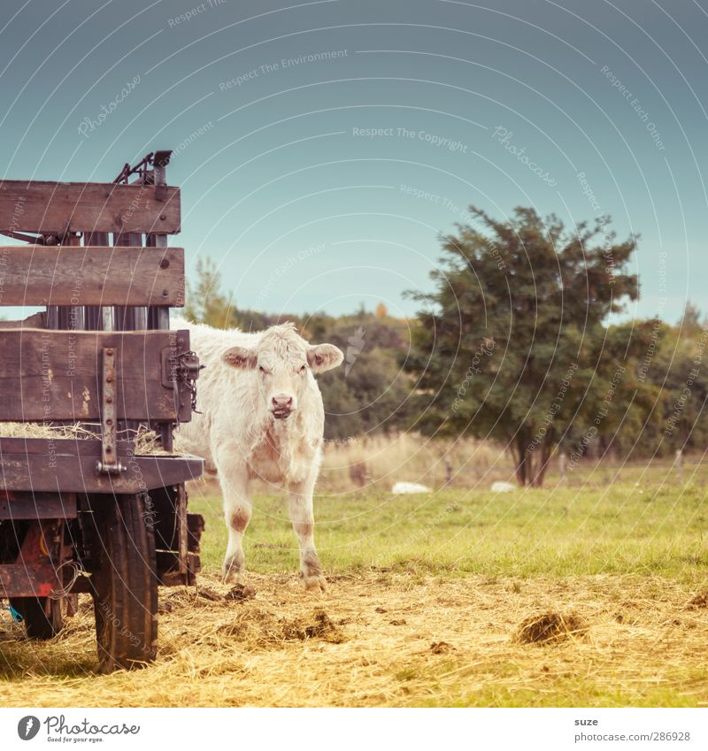 coo Environment Nature Animal Sky Summer Beautiful weather Tree Meadow Truck Trailer Farm animal Cow 1 Baby animal Small Natural Cute Bullock Country life