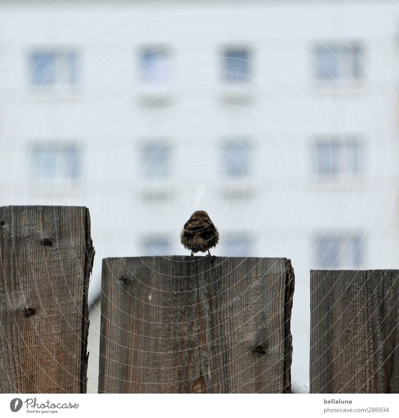 300 when I grow up, I'm gonna be a buffer! Nature Beautiful weather Animal Wild animal Bird Wing 1 Sit Wait Brown Gray White Wood Wooden board Fence Fence post