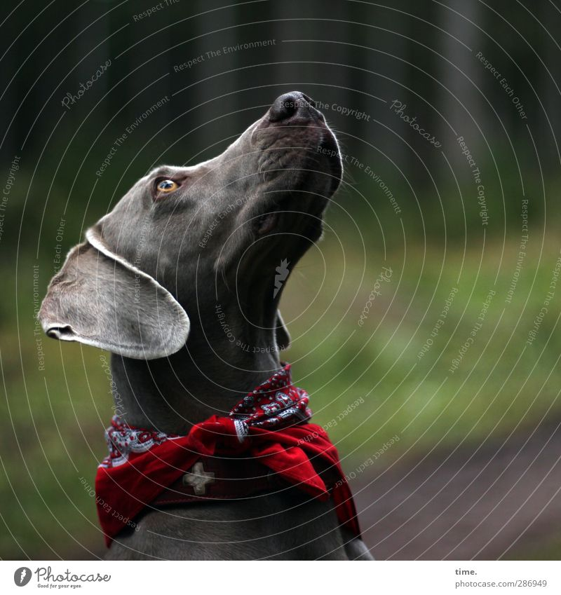 only sometimes ... Environment Autumn Forest Animal Pet Dog Animal face Weimaraner 1 Looking Dog collar Rag Observe Uniqueness Warmth Soft Watchfulness