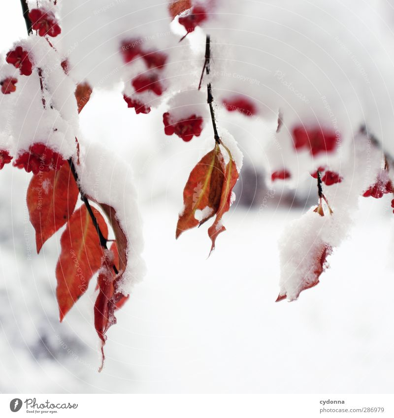 red-white contrast Environment Nature Autumn Winter Climate Climate change Ice Frost Snow Tree Leaf Esthetic Loneliness Uniqueness Colour Idyll Cold Life Calm