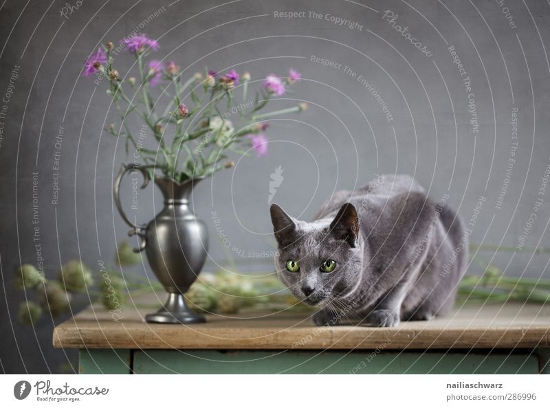 Cat and thistle Blossom Animal Pet Animal face racy russian blue 1 Bouquet Table Vase Wood Metal Observe Fragrance Glittering Hunting Illuminate Lie Looking