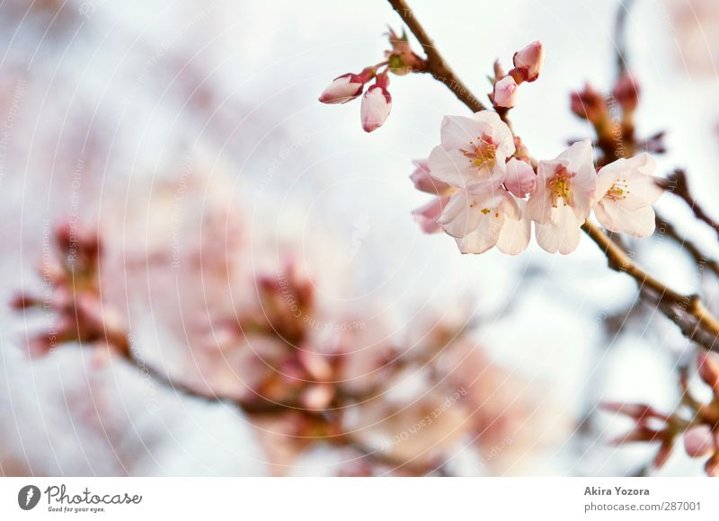 primavera Nature Plant Sky Spring Tree Blossom Cherry blossom Cherry tree Faded Growth Esthetic Blue Brown Yellow Pink Spring fever Love Romance Beginning