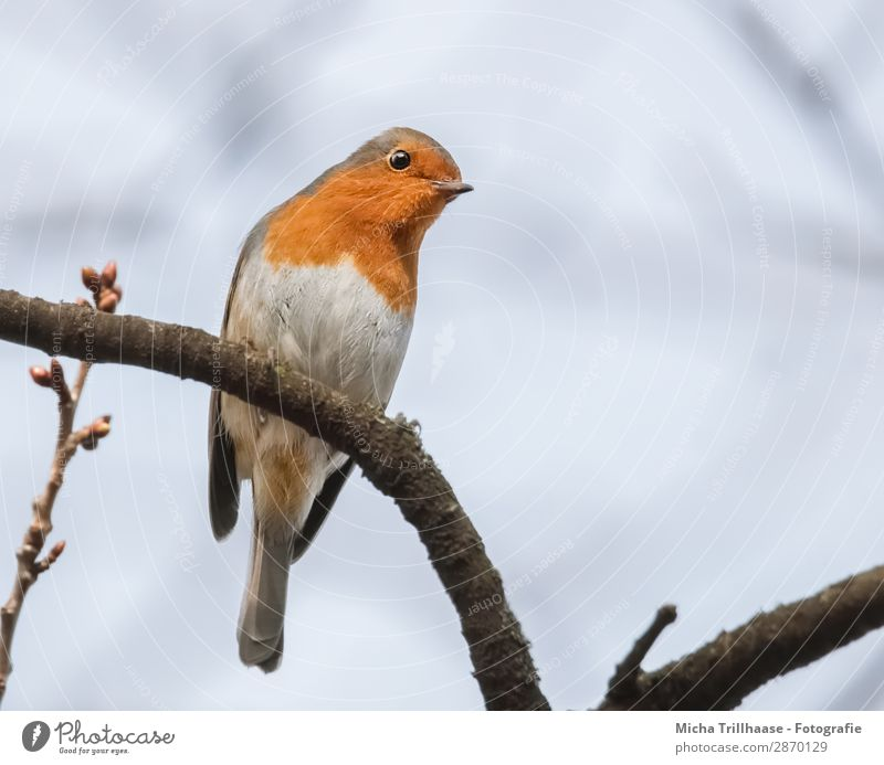 Curious robin Nature Animal Sky Sunlight Beautiful weather Tree Twigs and branches Wild animal Bird Animal face Wing Claw Robin redbreast Beak Eyes Feather