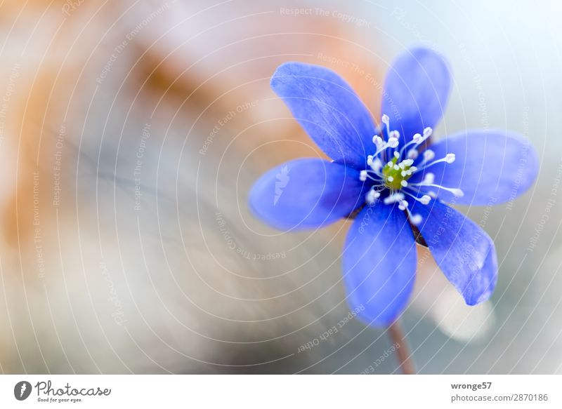 flower of a liverwort Nature Plant Spring Flower Blossom Hepatica nobilis Forest Near Blue Brown Gray Flowering plant Close-up Macro (Extreme close-up)