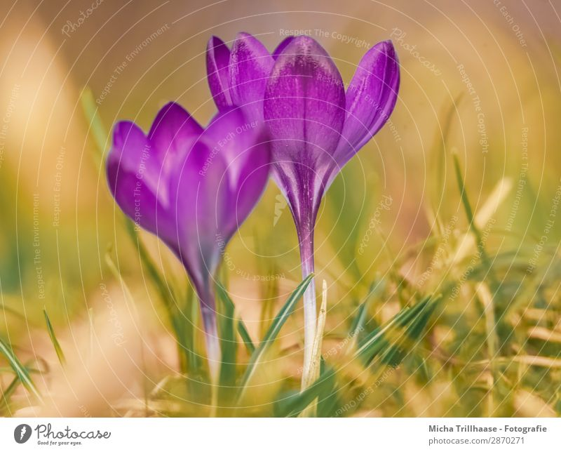 Crocuses on the spring meadow Nature Plant Sunlight Spring Beautiful weather Flower Leaf Blossom Spring flower heralds of spring Blossoming Glittering
