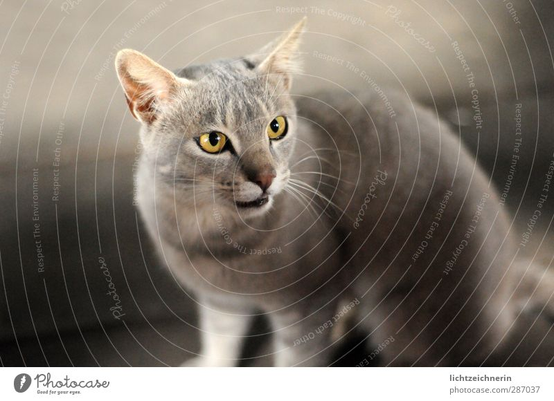 grey cat Animal Pet Cat 1 Looking Sit Wait Esthetic Elegant Curiosity Thin Smart Beautiful Wild Soft Gray Power Brave Passion Love of animals Attentive Calm