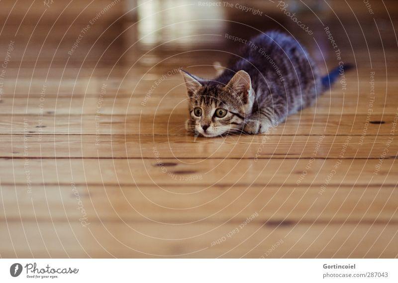 Cat Animal Playing Baby animal Wild Cute Observe Pelt Animal face Hunting Pet Wooden floor Attack Kitten Tiger skin pattern Tabby cat