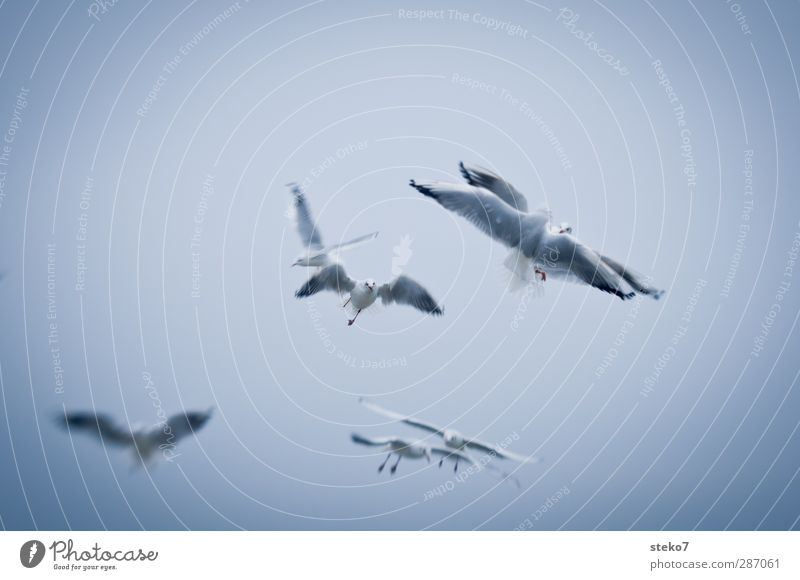 Blue White Ocean Animal Gray Bird Flying Baltic Sea Argument Seagull Hunting Fight Flock Sky only