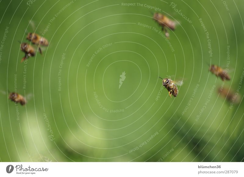Beautiful Animal Legs Work and employment Flying Trip Wing Peoples Insect Bee Teamwork Carrying Floating Farm animal Flock Pollen