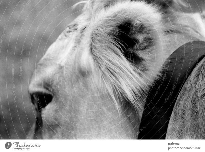big eavesdropping attack Cow Transport Ear Black & white photo Macro (Extreme close-up)