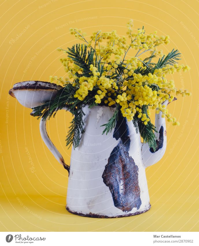 Old coffee pot as a vase with acacia flowers. Design Decoration Nature Plant Spring Tree Flower Leaf Blossom Foliage plant Wild plant Exotic Bouquet Ornament
