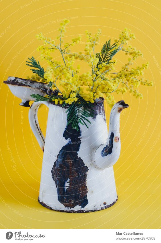 Old coffee pot as a vase with acacia flowers. Joy Harmonious Well-being Fragrance Interior design Decoration Nature Plant Spring Tree Flower Leaf Blossom