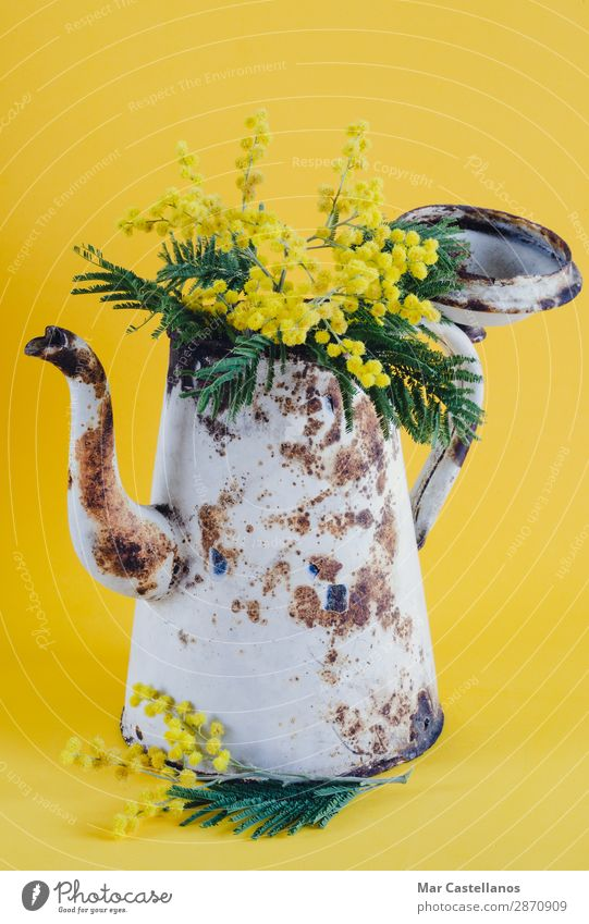 Old coffee pot as a vase with acacia flowers. Nature Plant Colour Beautiful Green White Tree Flower Leaf Joy Yellow Blossom Spring Natural Garden Brown