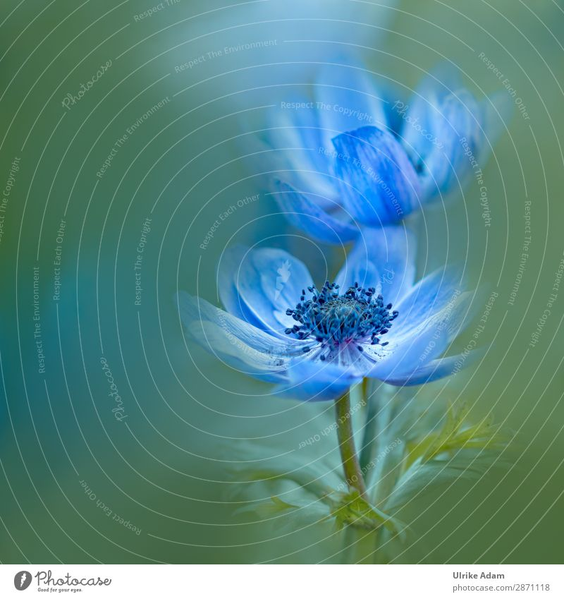 Blue Anemones - Flowers and Nature Elegant Design Wellness Harmonious Contentment Relaxation Calm Meditation Spa Decoration Wallpaper Image