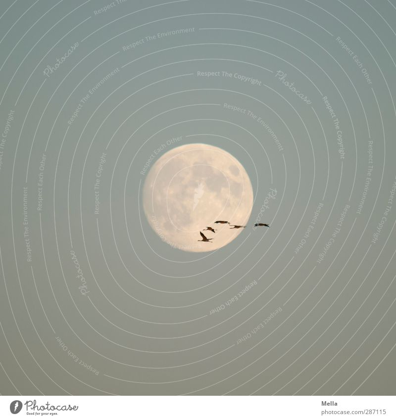 Moonlight Flying Part III Environment Nature Animal Air Sky Cloudless sky Full  moon Bird Crane Group of animals Flock Illuminate Free Together Large Small