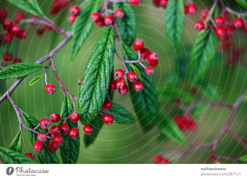 berries Environment Nature Plant Autumn Beautiful weather Tree Bushes Leaf Foliage plant Agricultural crop Berries Fruit Twig Branch Garden Park Glittering Hang