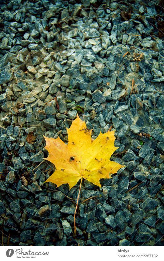 Canadian autumn Autumn Leaf Stone Illuminate Lie Esthetic Positive Blue Yellow Nature Change 1 Gravel Maple leaf Autumnal colours Colour photo Exterior shot