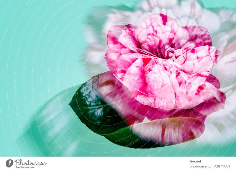 pink rose on green background Beautiful Relaxation Nature Spring Flower Blossom Garden Cool (slang) Cute Green Pink Red Comfortable Colour red flower defocused