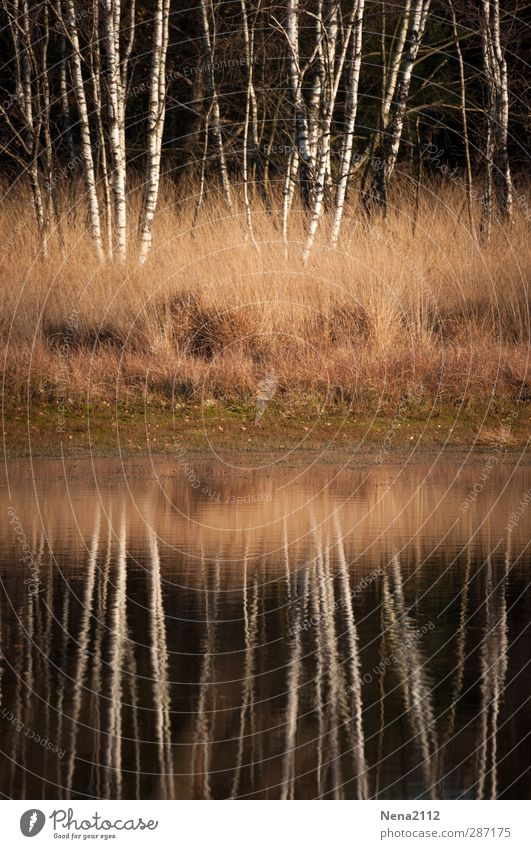 birch mirror Environment Nature Landscape Plant Water Autumn Winter Beautiful weather Tree Grass Bushes Meadow Forest Lakeside River bank Bog Marsh Pond Brook