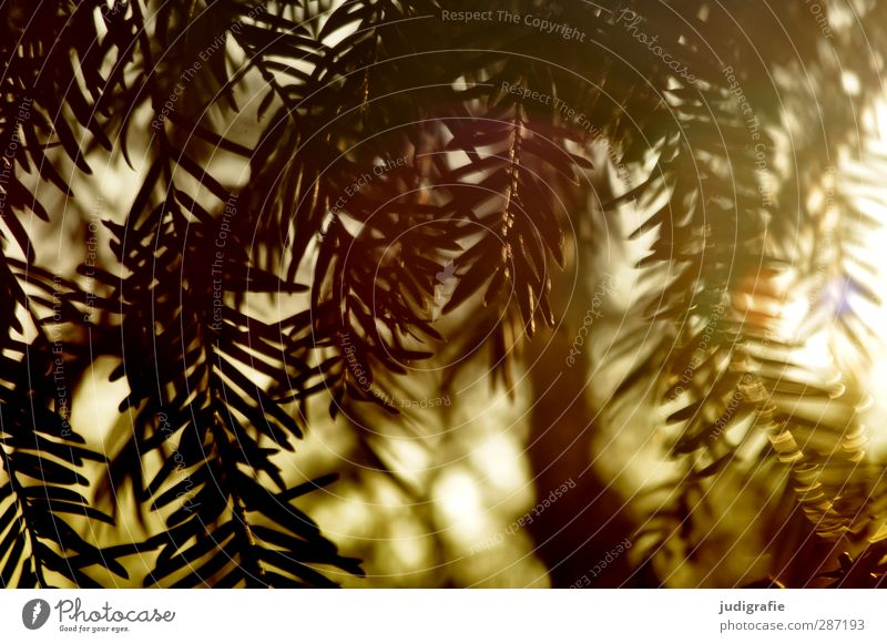 Sundays Environment Nature Plant Sunlight Coniferous trees Fir tree Fir needle Growth Natural Point Wild Moody Forest Colour photo Exterior shot Day Light
