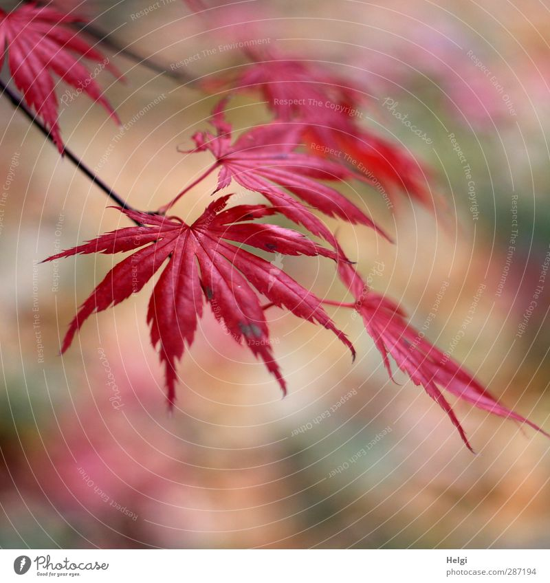 Autumn in red... Environment Nature Plant Tree Leaf Maple tree Maple leaf Garden Old Hang To dry up Growth Esthetic Authentic Beautiful Natural Brown Green Red