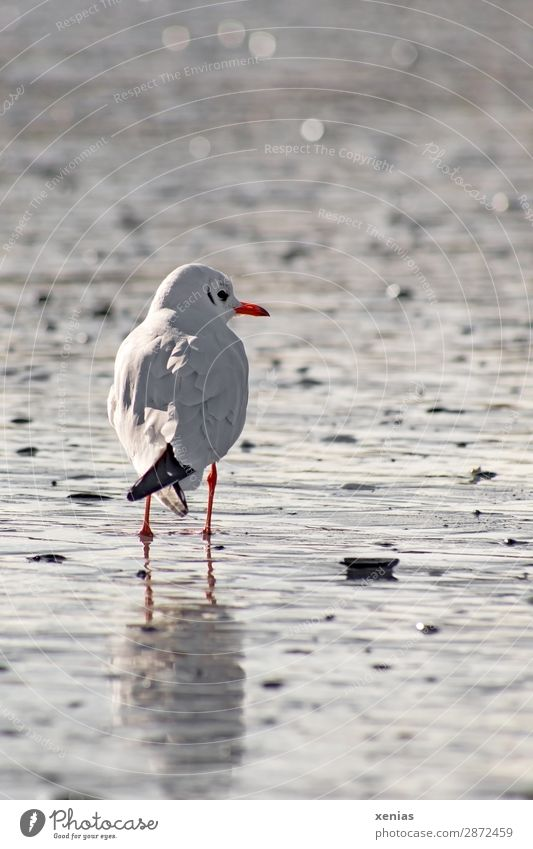 Seagull looks to the right Nature Coast Beach Baltic Sea Ocean Wild animal Bird 1 Animal Looking Stand Gray Orange Black White Vacation & Travel Calm