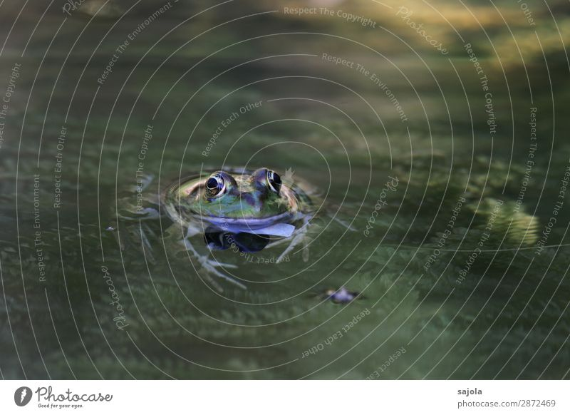Frog in the pond Swimming & Bathing Environment Nature Animal Water Plant Foliage plant Pond Wild animal Animal face Amphibian 1 Observe Relaxation Looking