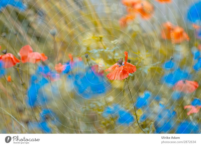 Flowers - poppy in the field Design Wellness Harmonious Well-being Contentment Relaxation Calm Meditation Cure Spa Decoration Wallpaper Feasts & Celebrations