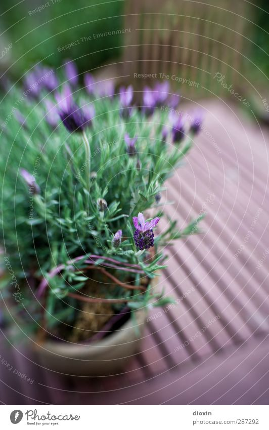 Nature Plant Flower Blossom Garden Growth Bushes Blossoming Lavender