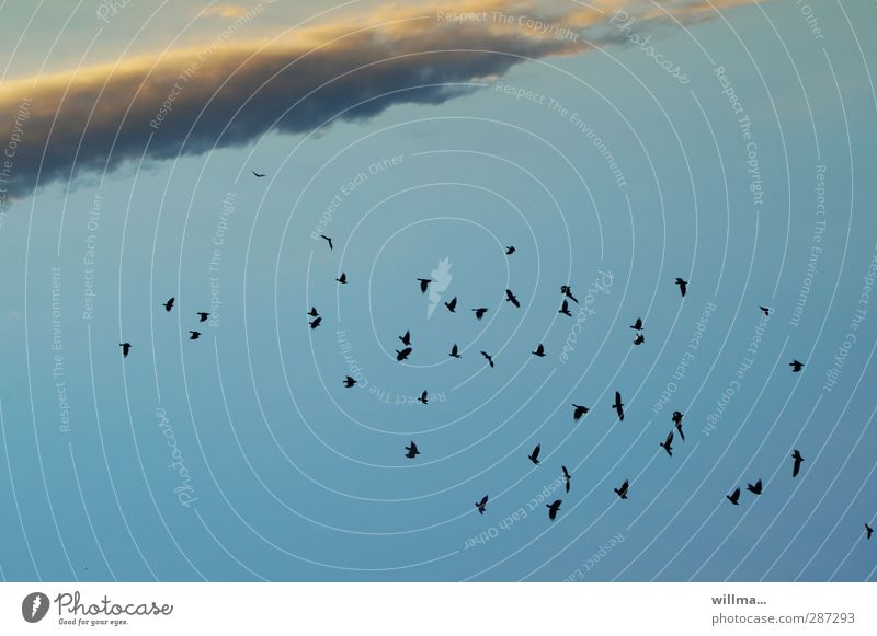 happy birdday, photocase! :) Sky Bird Crow Flock Blue Clouds Band of cloud Cloud formation Colour photo Exterior shot Deserted Worm's-eye view