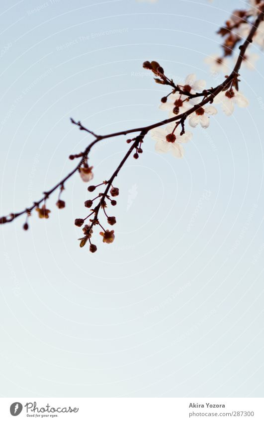 Rising tendency Environment Nature Plant Sky Cloudless sky Spring Tree Blossom Cherry blossom Cherry tree Branch Blossoming Growth Esthetic Fragrance Blue Brown