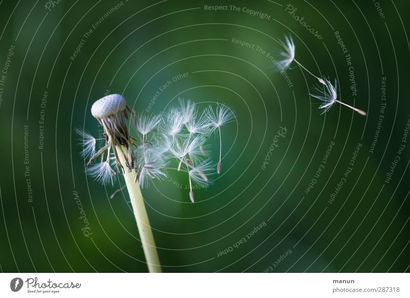Nature Plant Environment Natural Flying Growth Free Beginning Change Simple Dandelion Positive Sustainability Seed Ease Advancement