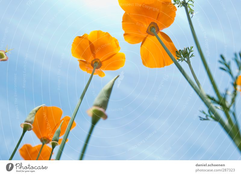 ...and some more flowers for photocase Nature Plant Summer Beautiful weather Blossom Meadow Blue Orange Poppy Iceland poppy Colour photo Multicoloured