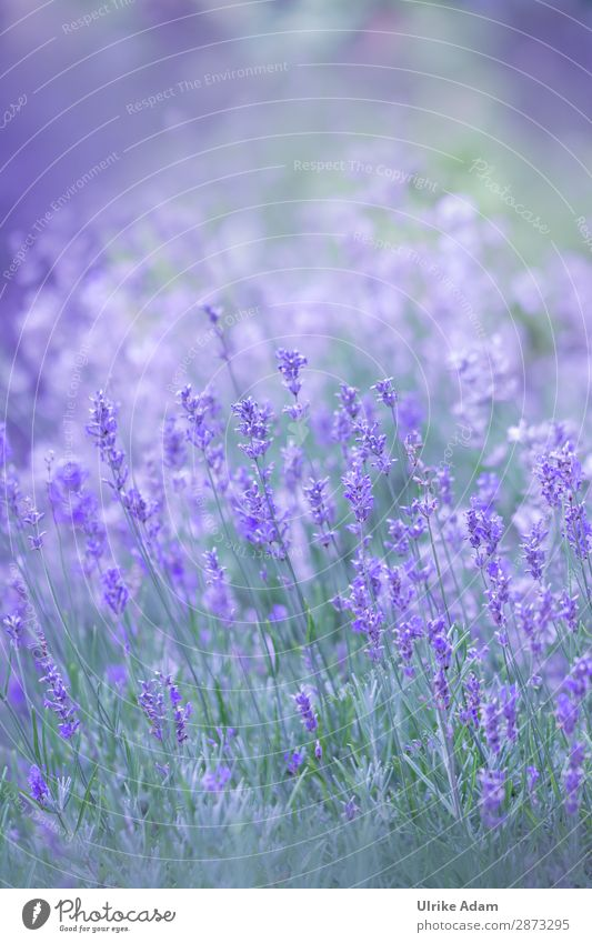 Lavender in the field Herbs and spices Alternative medicine Wellness Harmonious Contentment Relaxation Calm Meditation Spa Decoration Wallpaper book cover Card