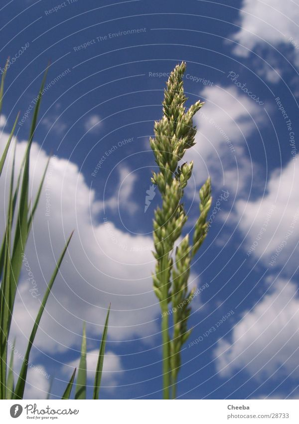 Nature Sky Plant Clouds Meadow Grass Spring Blade of grass Ear of corn