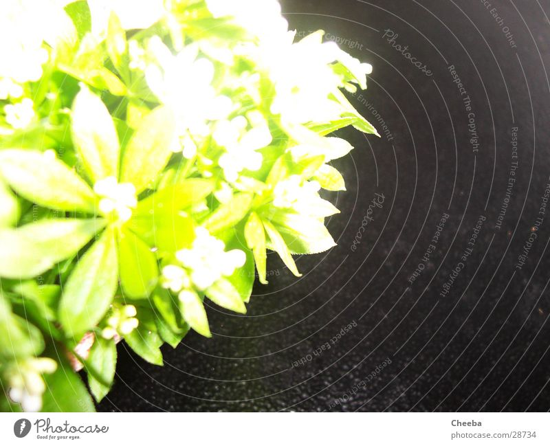woodruff Woodruff Green Dark Overexposure Plant Black