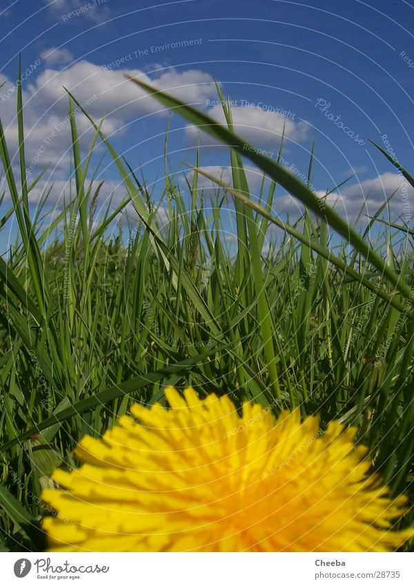 Find the grasshopper! Flower Meadow Grass Spring Green Yellow Clouds lion's number Sky Blue Nature