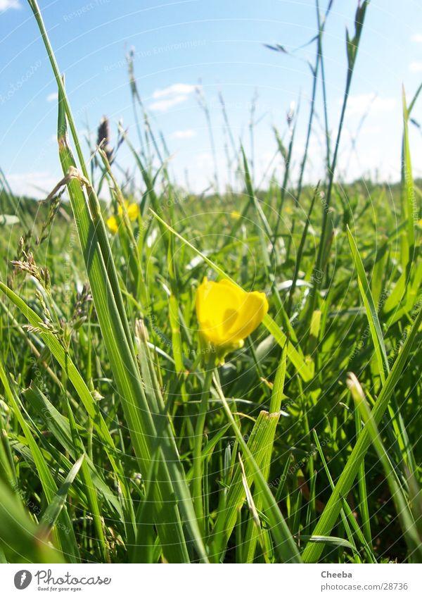 Sky Sun Flower Summer Yellow Meadow Grass Spring