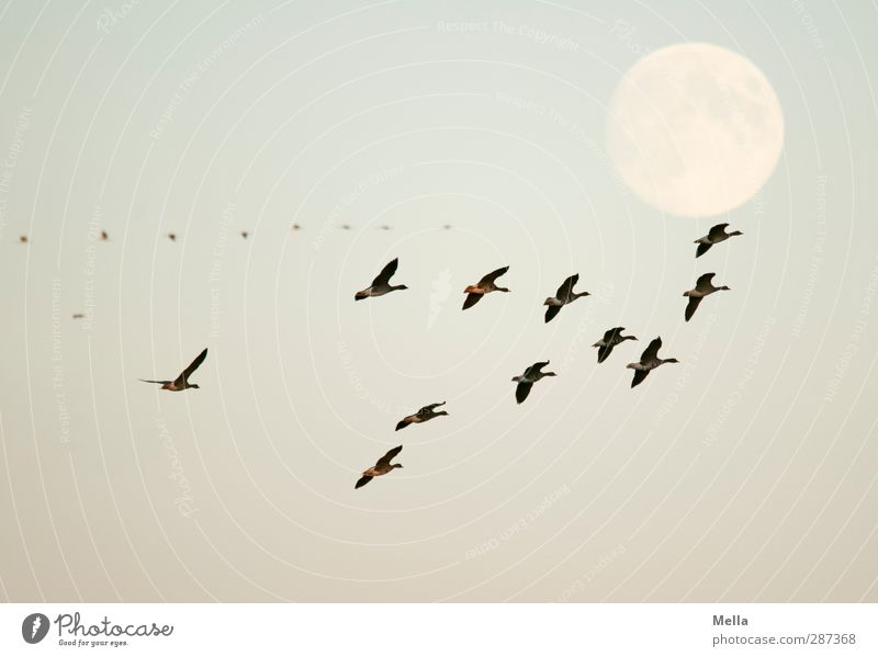 Nature Blue Animal Environment Freedom Air Bird Together Natural Flying Wild animal Illuminate Perspective Moon Goose