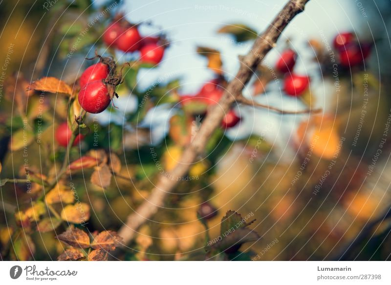 Happy Birthday Photocase! | seasonal Environment Nature Autumn Plant Bushes Rose hip Healthy Beautiful Natural Dry Warmth Wild Red Fruit Splendid Bright Colours