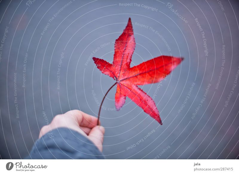 red leaf Hand Fingers Nature Autumn Leaf Wild plant Esthetic Natural Gray Red Maple leaf Colour photo Exterior shot Copy Space left Neutral Background Day