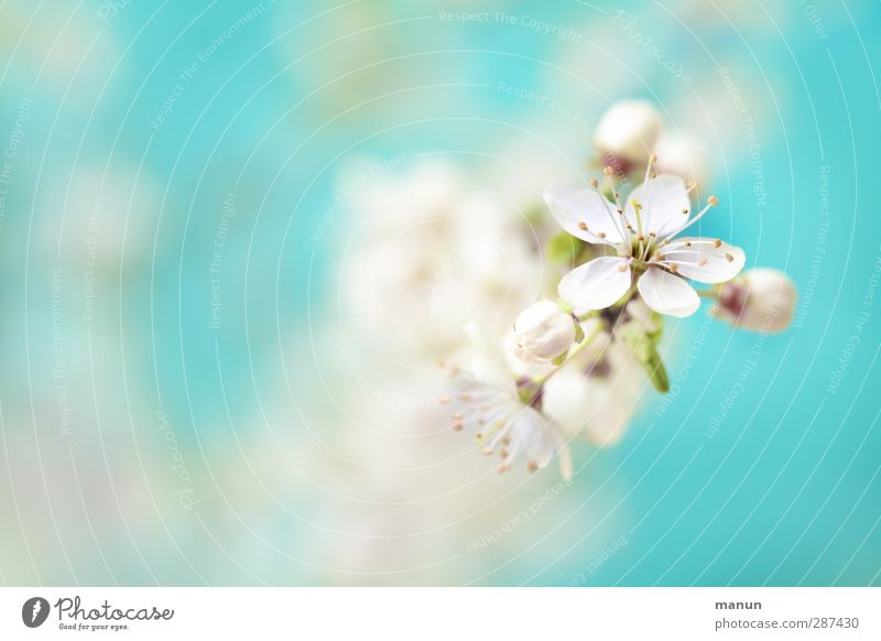 Nature Blue Beautiful White Plant Tree Spring Blossom Bright Natural Fresh Happiness Blossoming Fantastic Positive Cherry blossom