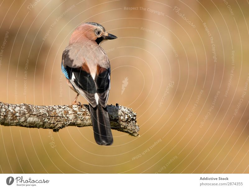 Wonderful bird on wooden twig Bird Jay Twig Branch Tree Wood wildlife Beak Animal Wild Nature fauna Summer Feather Wing Quill Story avian Freedom Sit Floral