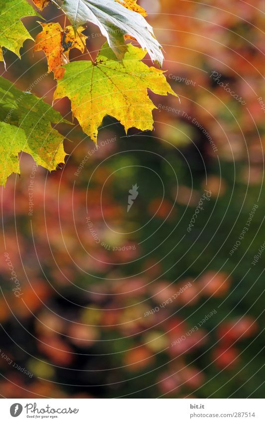 autumn coin Nature Plant Earth Autumn Beautiful weather Foliage plant Multicoloured Yellow Gold Green Red Autumn leaves Autumnal Autumnal colours Indian Summer