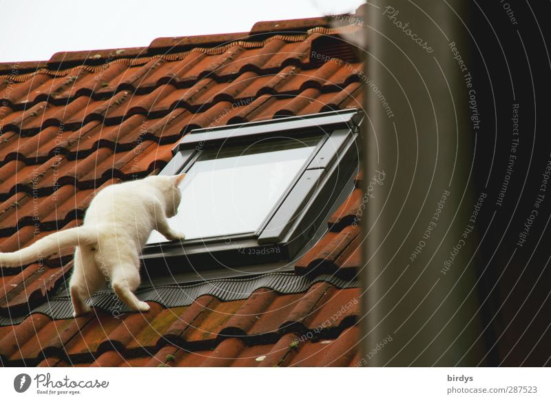 Cat Animal Above Funny Exceptional Roof Observe Curiosity Concentrate Whimsical Brash Voyeurism Tighten Exciting Skylight Disbelief