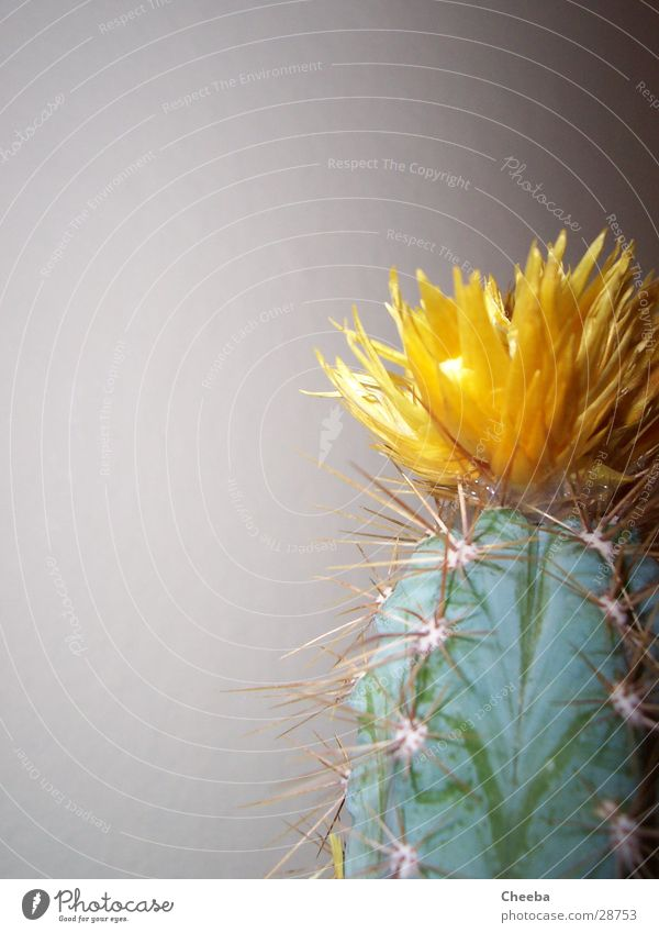 Cactus right outside Blossom Yellow Plant Green Half Flower Thorn Point