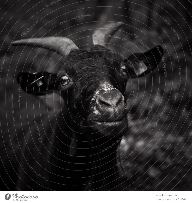 dark side Nature Animal Farm animal Animal face Pelt Goats Antlers 1 Observe Dark Brash Natural Rebellious Wild Black & white photo Exterior shot Deserted