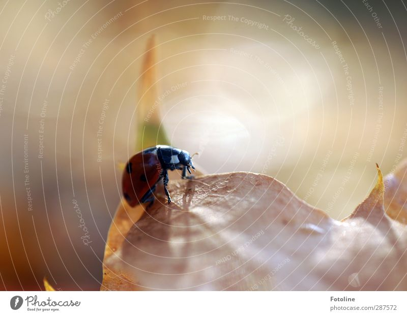 Still a little luck! Environment Nature Plant Animal Autumn Beautiful weather Leaf Beetle 1 Esthetic Free Bright Small Near Natural Red Black Ladybird Point